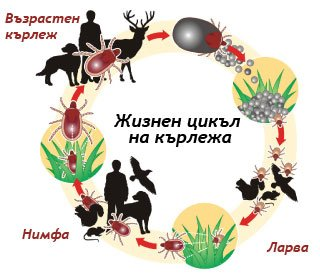 Жизнен цикъл на кърлежа